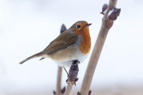 Robin on a Bud
