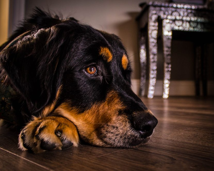 Pensive Pup